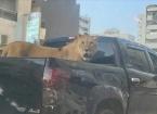 Libya'da Araç Kasasında Gezdirilen Aslan Görenleri Şaşırttı